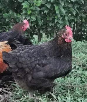gallina Marans, caratteristiche e prezzo