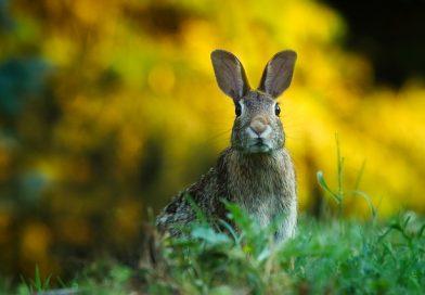 Coniglio che perde il pelo, cosa valutare e come comportarsi